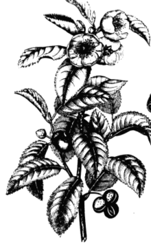 https://upload.wikimedia.org/wikipedia/commons/thumb/f/f0/Tea_plant_drawing.png/220px-Tea_plant_drawing.png