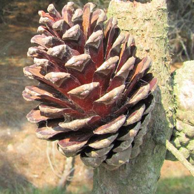 http://www.snv.jussieu.fr/bmedia/arbres/images/pin_maritime-femelle-mure.jpg