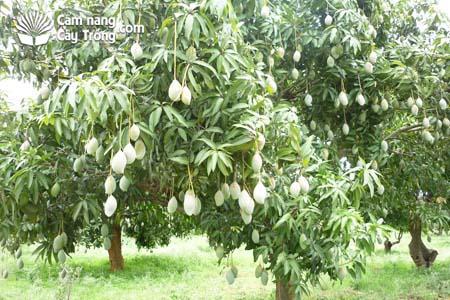 Cây xoài mango