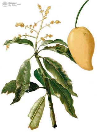 Hình thái của hoa, lá và trái xoài.